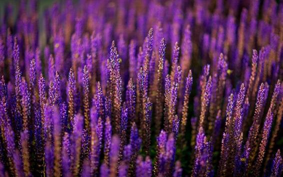 Обои Лаванда цветы поле, фиолетовый стиль