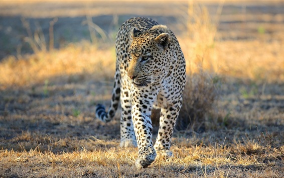 Wallpaper Leopard, Africa, Savannah, predator, wild cat