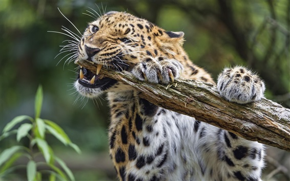 Wallpaper Leopard biting the wood