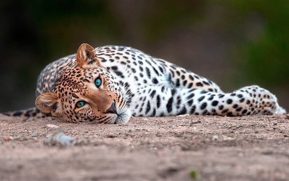 Wallpaper Leopard lying on the ground to rest
