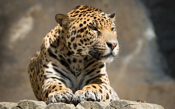 Papéis de Parede Descanso de leopardo, prancha de madeira