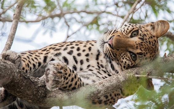 Wallpaper Leopard sleep in the tree