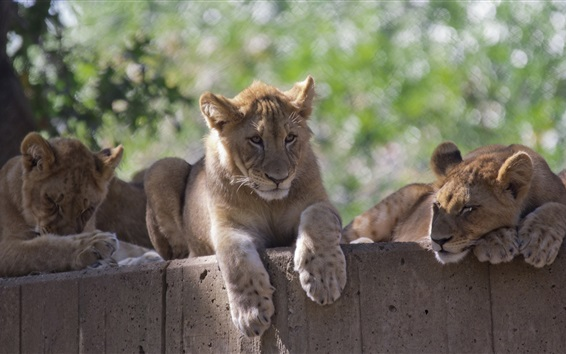 Обои Львы, семья, зоопарк, отдых