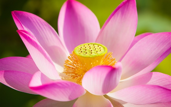 Wallpaper Lotus, pink petals, flowers macro photography