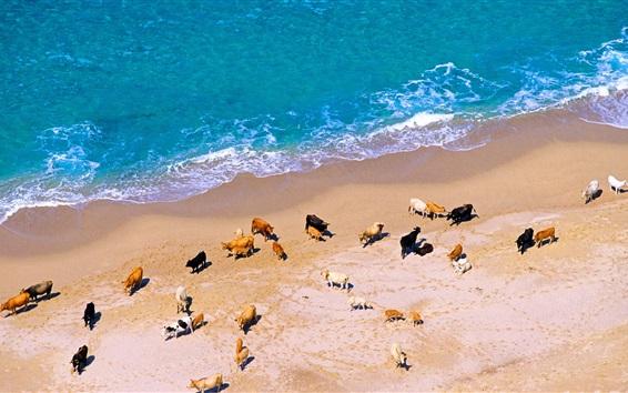 Обои Много коров, пляж, море