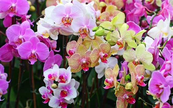 Wallpaper Many kinds phalaenopsis, colorful flowers