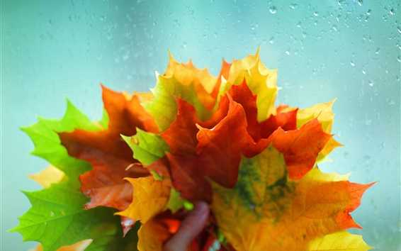 Wallpaper Many maple leaves, red yellow green, water droplets