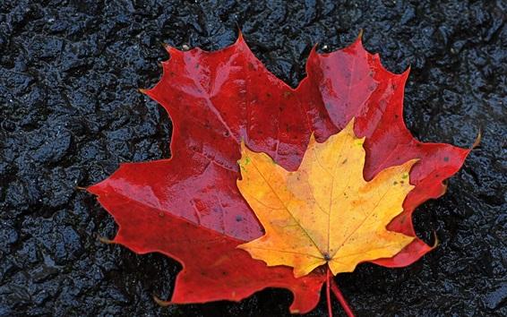 Обои Листья клена, красный и желтый, осень, мокрый