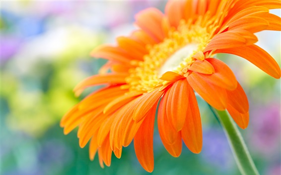 Wallpaper Orange gerbera flower in water