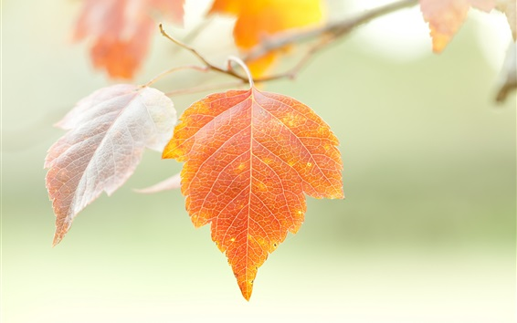 Обои Оранжевые листья, веточки, осень