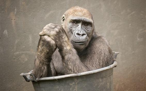 Обои Орангутанг в ведре