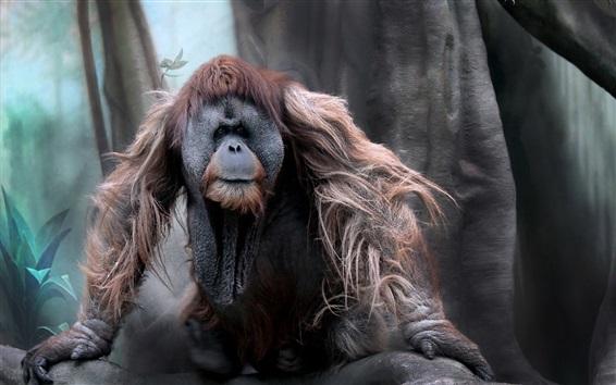 Papéis de Parede Orangotango, macaco