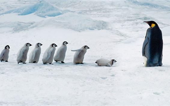Fondos de pantalla Madre pingüino y pingüinos bebés, nieve gruesa