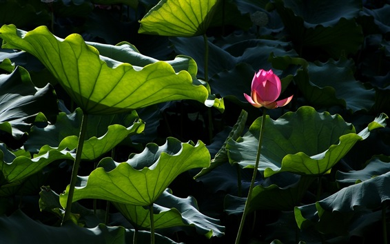 Wallpaper Pink lotus, green leaves