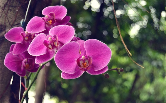 Wallpaper Pink phalaenopsis, orchids