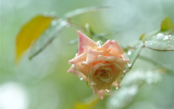 Wallpaper Pink rose after the rain, water droplets