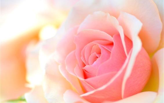 Fond d'écran Rose, rose, macro, photographie, pétales, éblouissement, bokeh