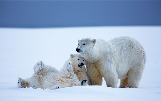 雪原でじゃれあう3匹の熊