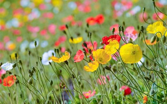 Wallpaper Poppy flowers field, red yellow pink