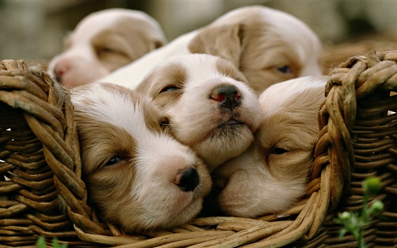 배경 화면 강아지가 바구니에 잔다.