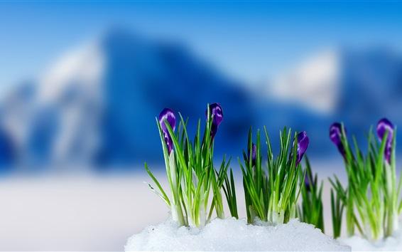 Fond d'écran Pourpre, crocus, fleurir, neige, ressort, barbouillage, fond