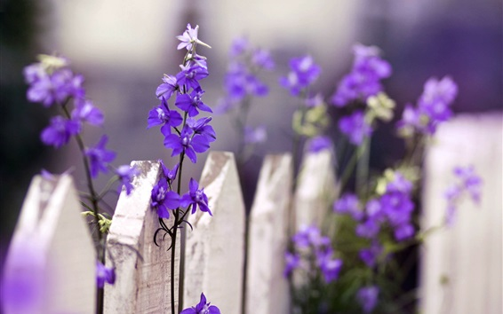 Обои Фиолетовый цветы, белый забор