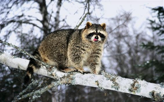 Papéis de Parede Raccoon no inverno, neve, árvore, ramos