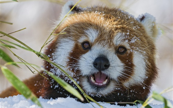 Wallpaper Red panda in the snow winter