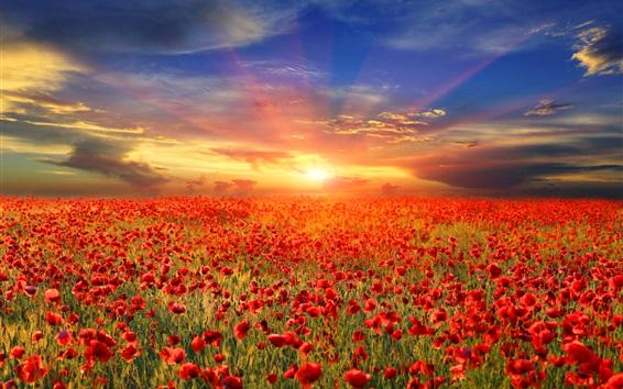 Wallpaper Red poppy flowers field, sunrise