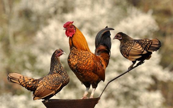 Papéis de Parede Galo e galinha