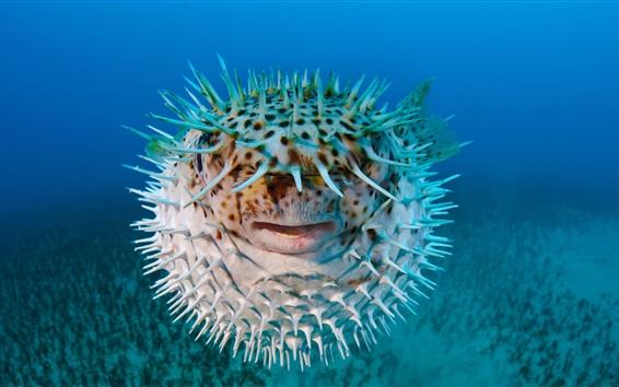 Wallpaper Sea hedgehog, porcupine fish
