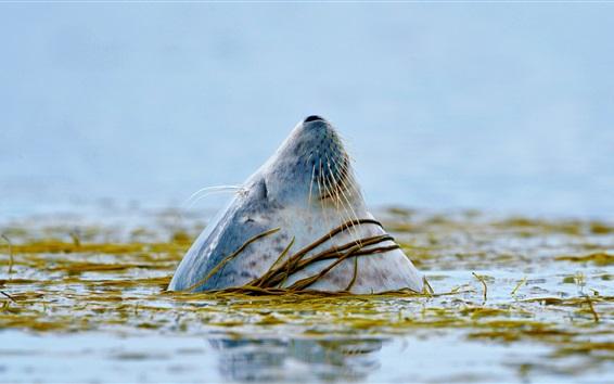Hintergrundbilder Versiegelt den Kopf aus dem Wasser