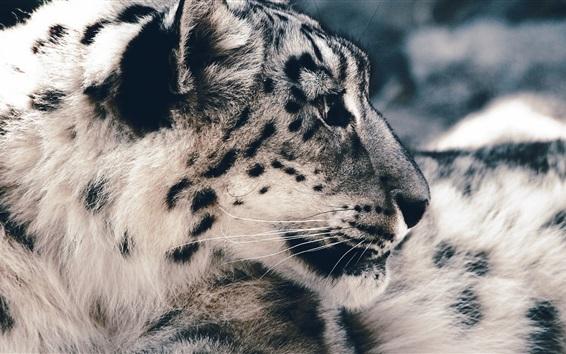 Papéis de Parede Snow leopard fotografia, predador, rosto