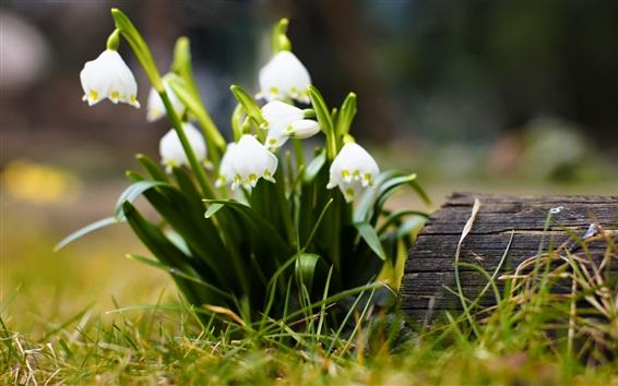 Fond d'écran Snowdrops, blanc, fleurs, herbe, bokeh