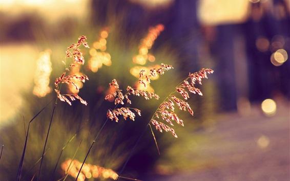 Fond d'écran Herbe d'été au coucher du soleil, fond flou