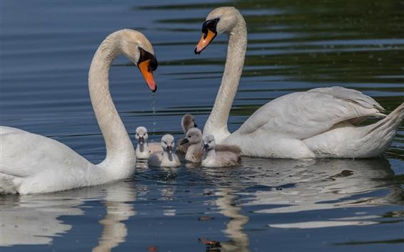 Wallpaper Swan family, water