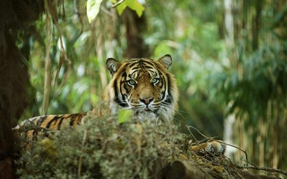 Обои Тигр спрятаны в лесу, хищник