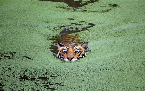 Wallpaper Tiger swim in pond