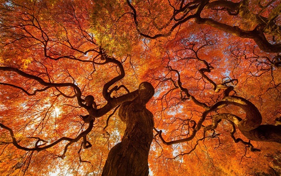 Wallpaper Trees in autumn, red leaves, Japan