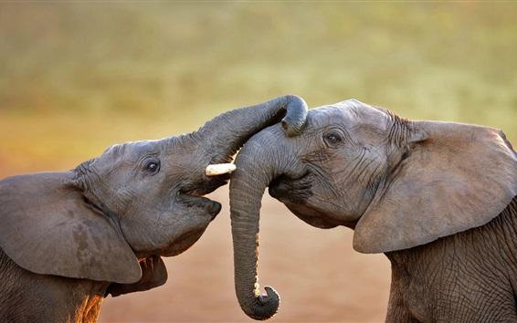 Wallpaper Two elephants playful