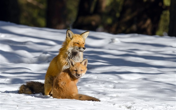 Wallpaper Two foxes in the winter, thick snow