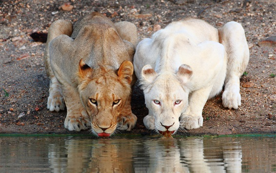Wallpaper Two lions drink water together