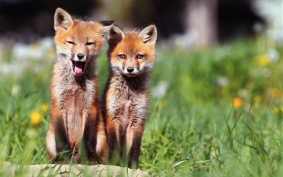 Hintergrundbilder Zwei schöne Fuchsjungen