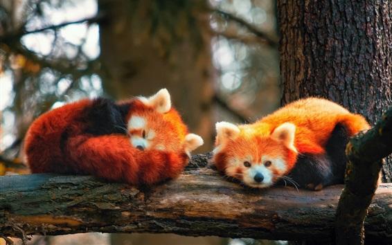 Fond d'écran Deux, rouges, renards, dormir, arbre