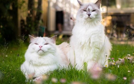 Fond d'écran Deux, blanc, chats, herbe