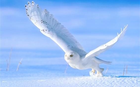 Обои Белая сова в снегу зимой