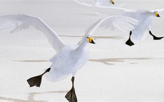 배경 화면 하얀 백조 비행