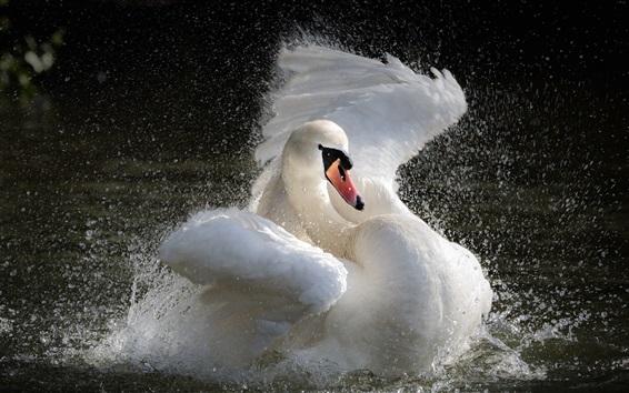 Wallpaper White swan play water