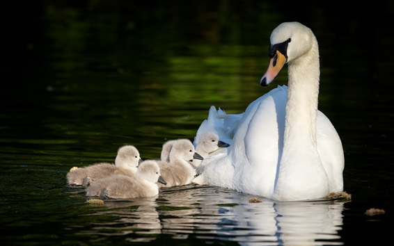 Wallpaper White swans, motherhood, pond