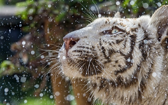 Wallpaper White tiger face, rain, water droplets